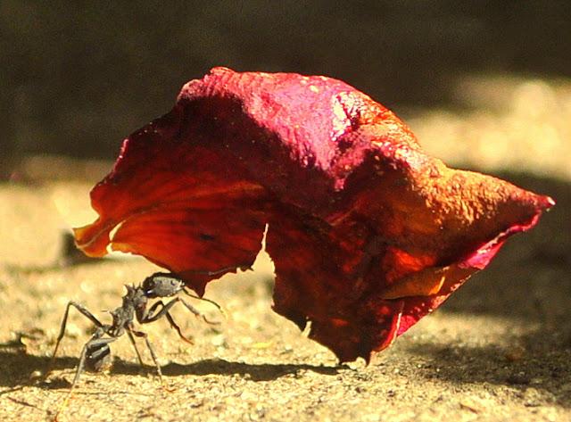 Un anciano chino se cura la diabetes comiendo hormigas