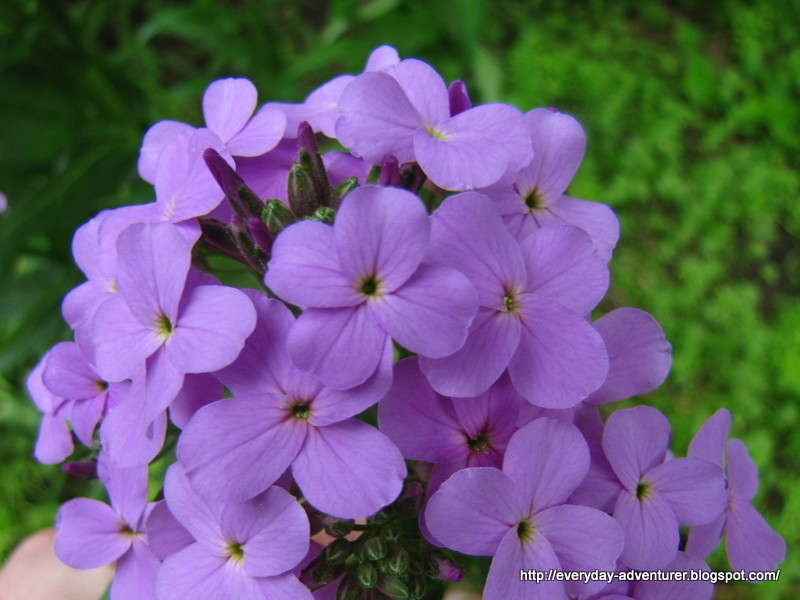 the everyday adventurer purple flowers, Beautiful flower