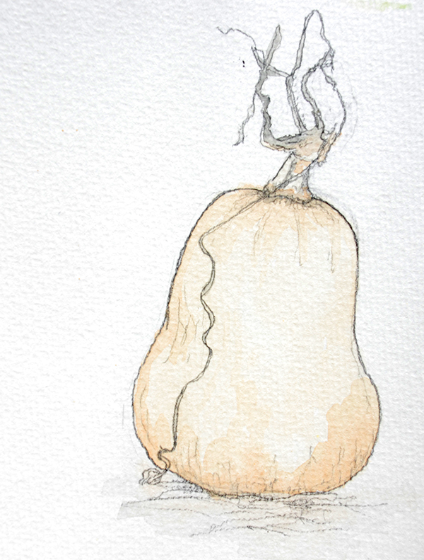 drawing of butternut pumpkin