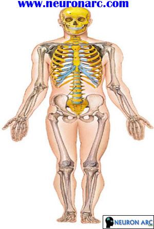 Axial & Appendicular Skeleton PPT
