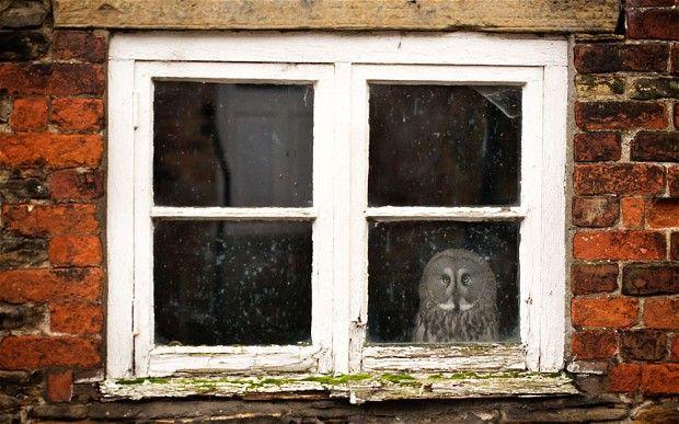 Takut Terbang, Burung Hantu Ini Mendekam Di Rumah [ www.BlogApaAja.com ]