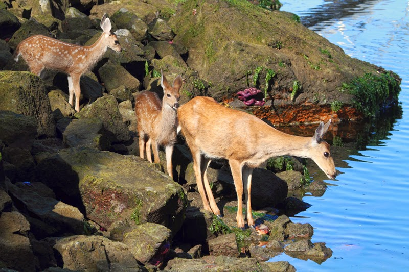 deer, fawns, deer fawns, deer family