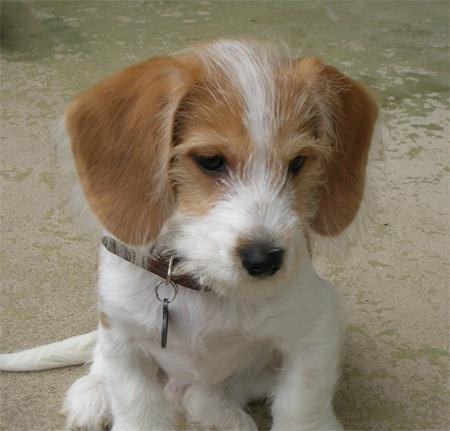 Yorkie And Beagle Mix