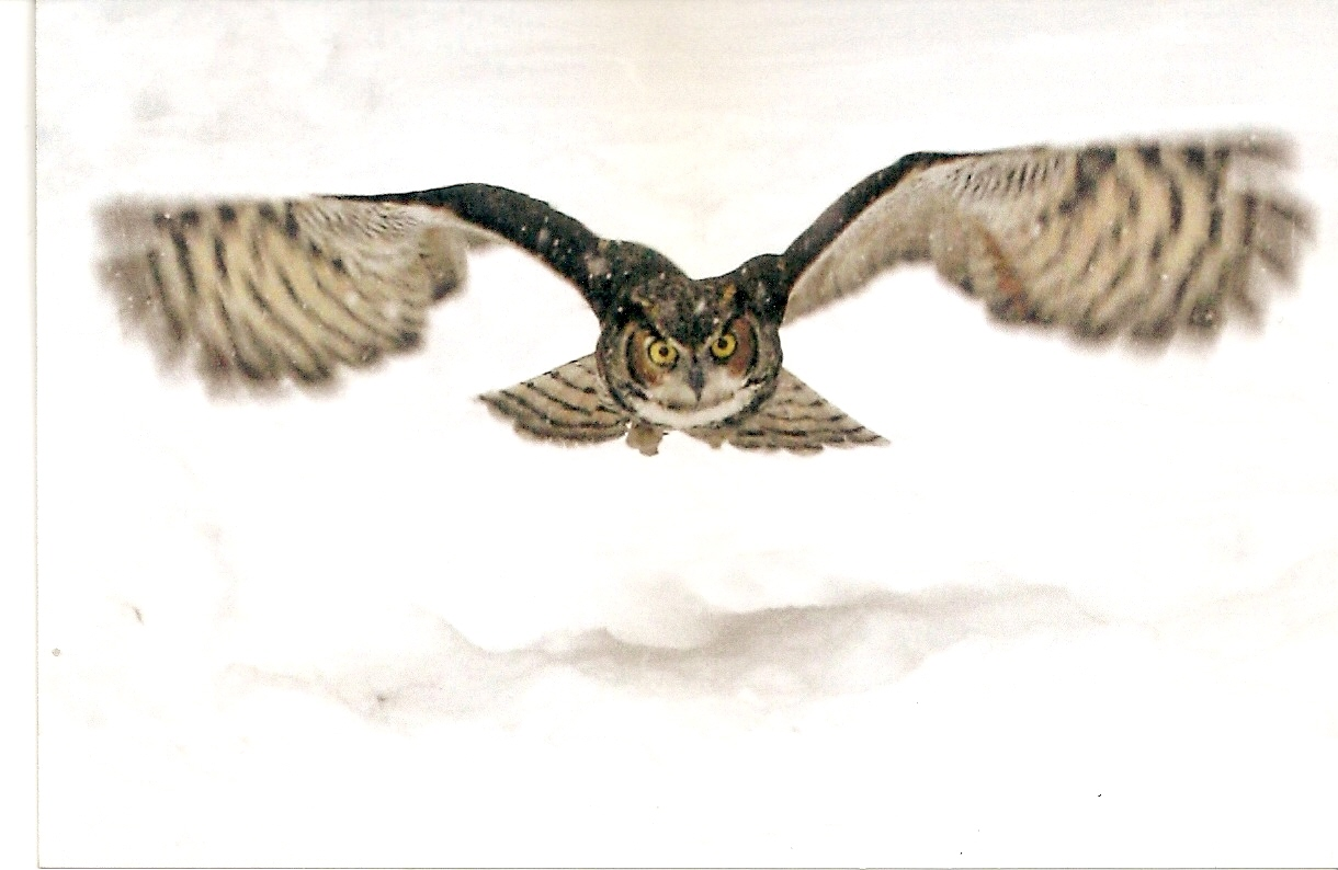 Great Horned Owl Flying Drawing | www.imgkid.com - The ...