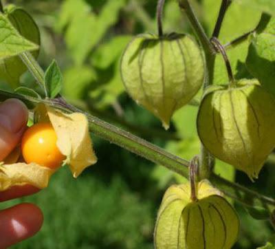 manfaat-buah-ciplukan