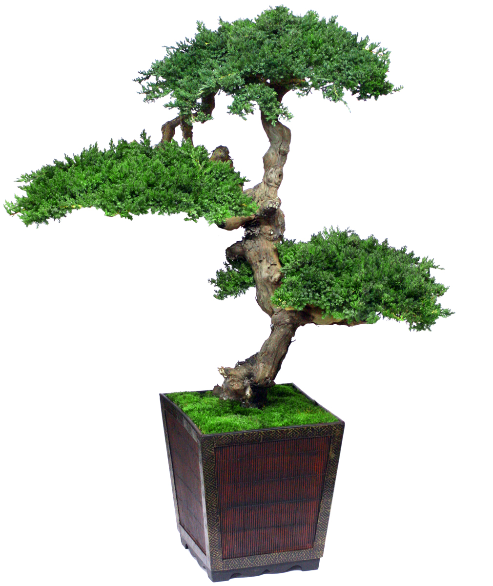 photos bonsai trees