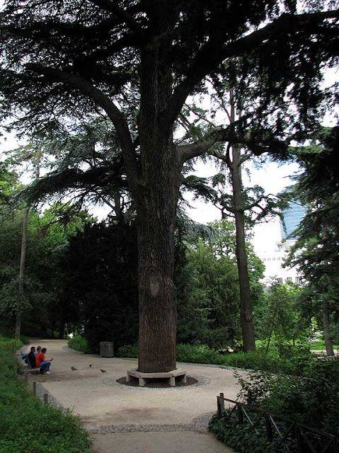 Cèdre du Liban, Cedar of Lebanon, by Jussieu in 1734, Jardin des Plantes, Paris