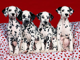 Dalmatian Dog Pictures