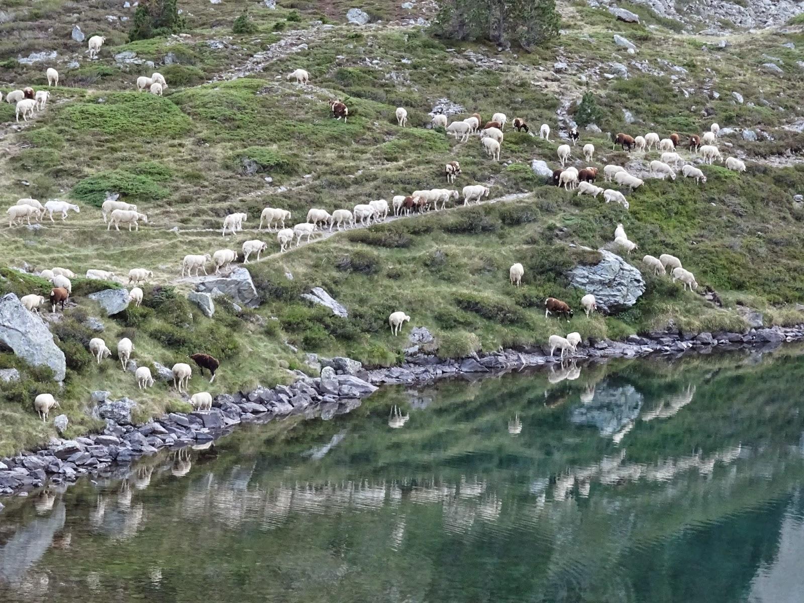 Schafherde am Lac d'Ilhéou