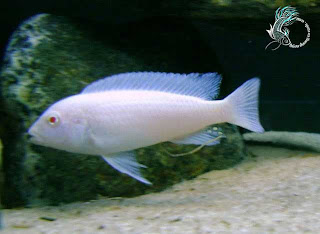 Cá Ali Albino