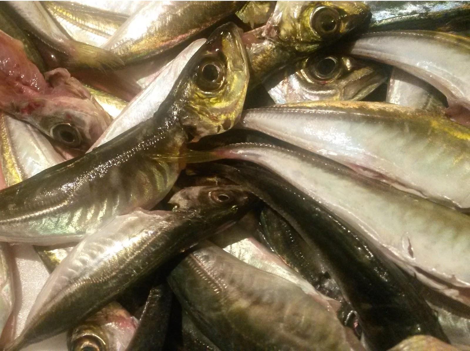 İstavrit Nasıl Bir Balık Türüdür