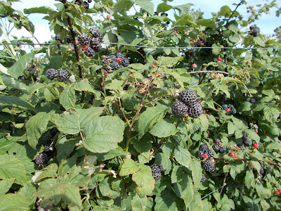 black berries in june Pruning blackberry bushes can not only help keep blackberries healthy, but will also help it to have a larger crop take a look at how and when to prune blackberry.