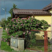 Rosa rugosa habit - Róża pomarszczona pokrój