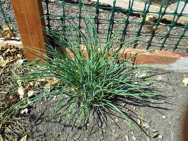April onion chives after transplanting