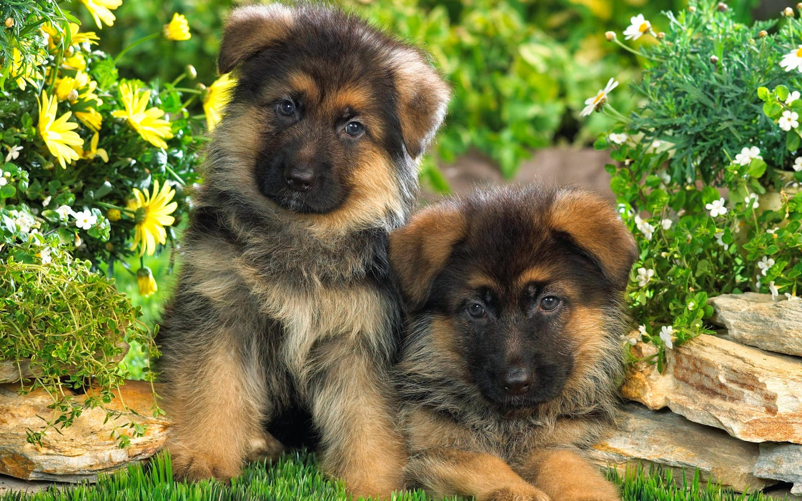 mucha raza canina: