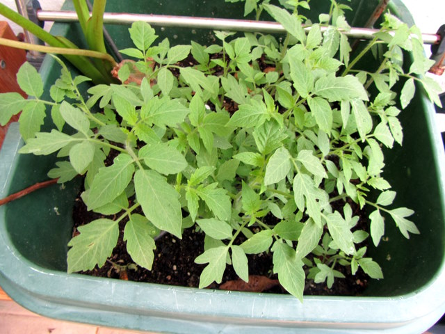 how to grow tomato seedlings