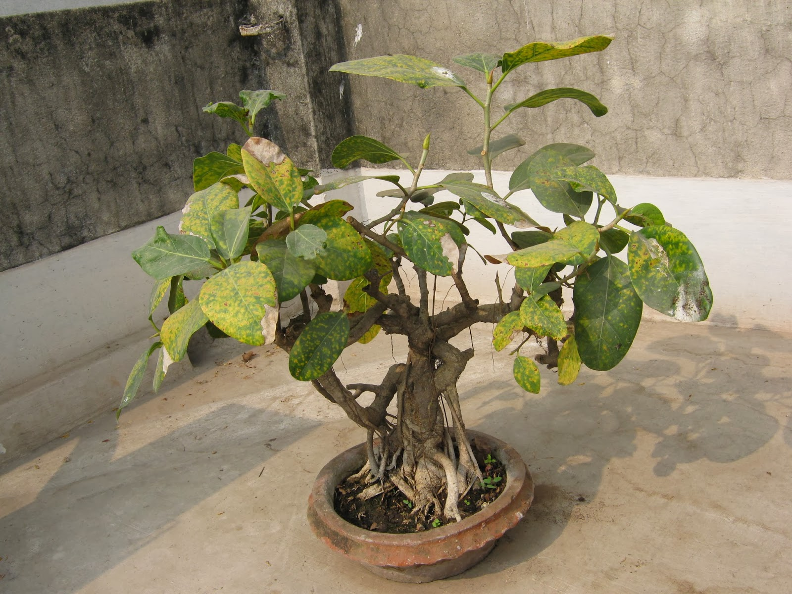 Garden Care Simplified Two Majestic Bonsai Trees Banyan And