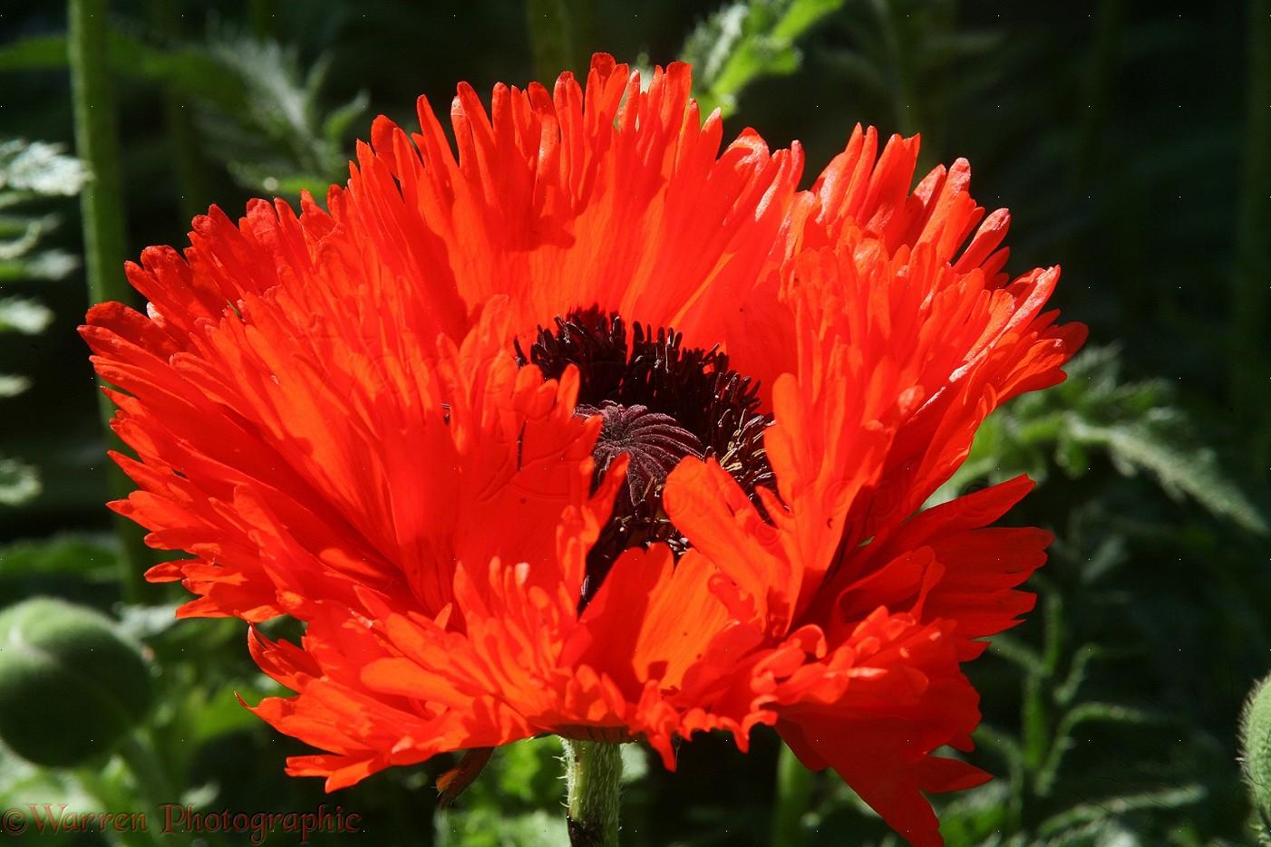 Oriental Poppy Beautiful Flowers