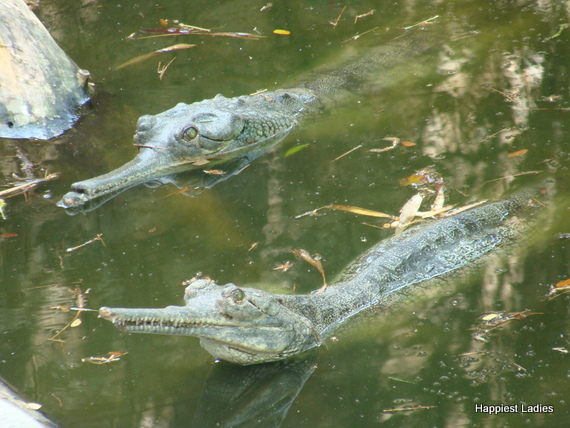 marsh crocodiles mysore zoo