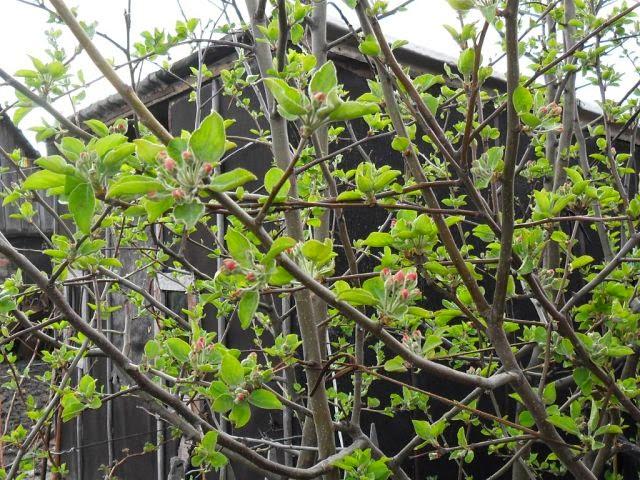10.05 цветочные бутоны единственной уцелевшей яблоньки