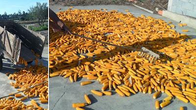 Descarregar e estender as espigas de milho na eira para secarem ao sol