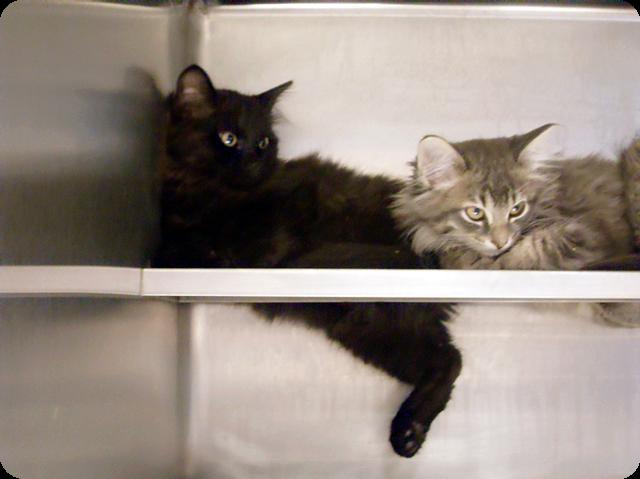 cat kitten kitty fluffy cute tabby grey evil siblings