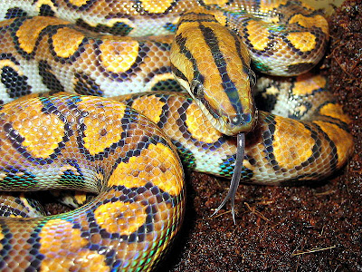 Brazilian_Rainbow_Boa_colorful_snakes
