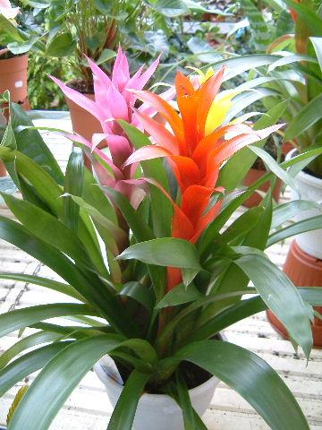 Meus textos e pensamentos de vas brom lias - Plantas de interior tropicales ...