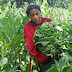 Ometepe reactiva cultivo de tabaco