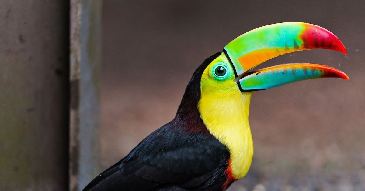 Toucan Desktop Wallpaper Covers Heat HD Wallpapers Download Free Images Wallpaper [1000image.com]
