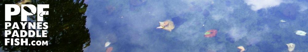 Payne's Paddle Fish