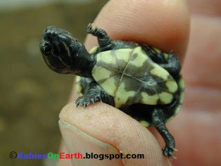 Baby Common Musk Turtle
