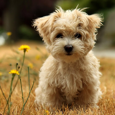 Cute Puppy Wallpaper-Cute Puppy