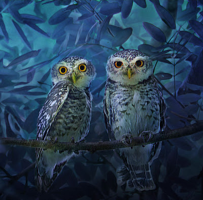 Owls love couple - Dos búhos enamorados