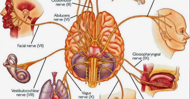 central nerve systems and how to protect it