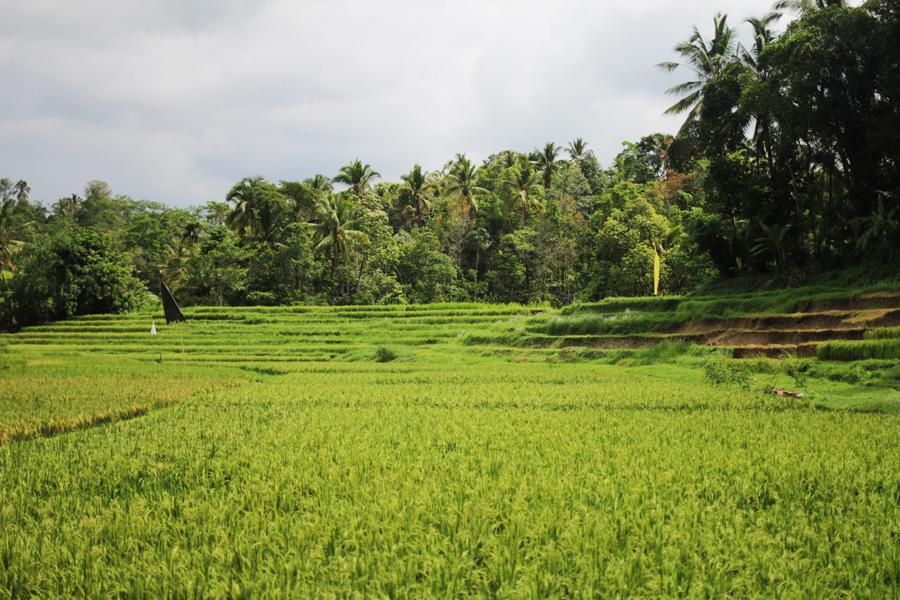 ricefields ubud bali