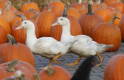 TheJungleStore.com Blog | Geese In Pumpkin Patch