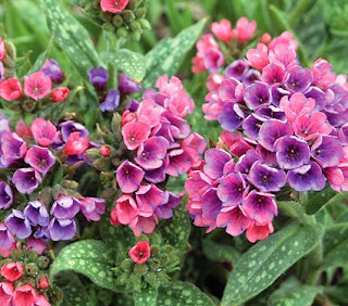 Beneficios y remedios de la pulmonaria