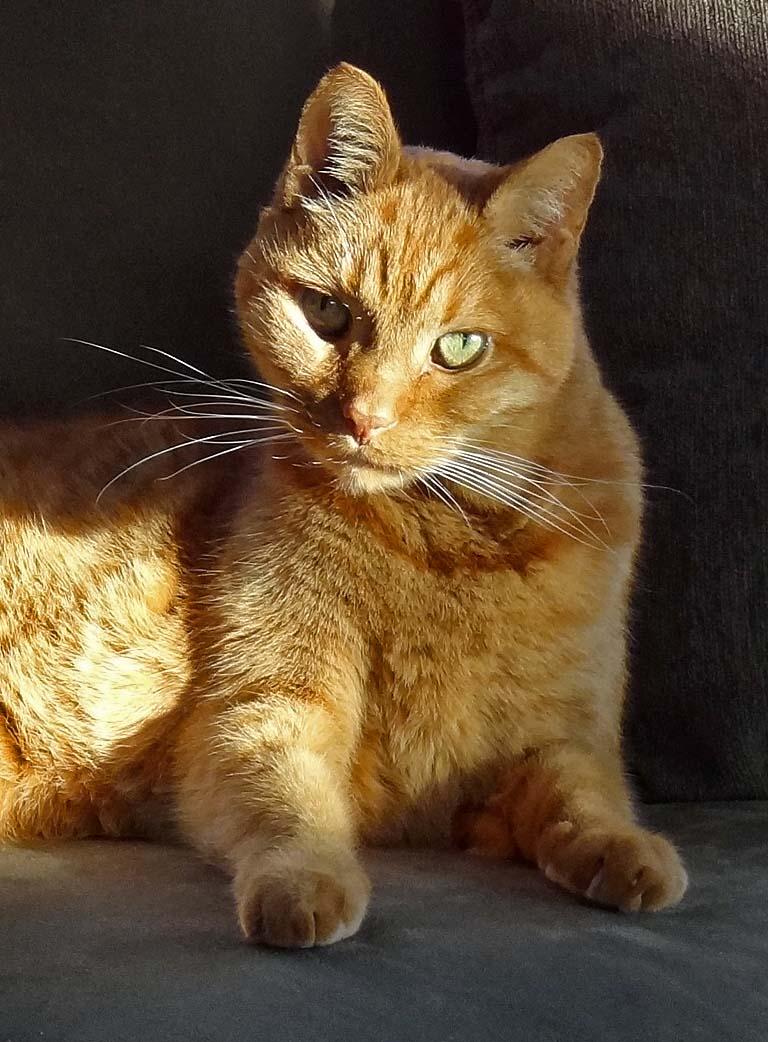 Effect Cat Flea Protection Comfortis