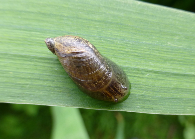 think this is Great Pond Snail waiting for confirmation - It has ...