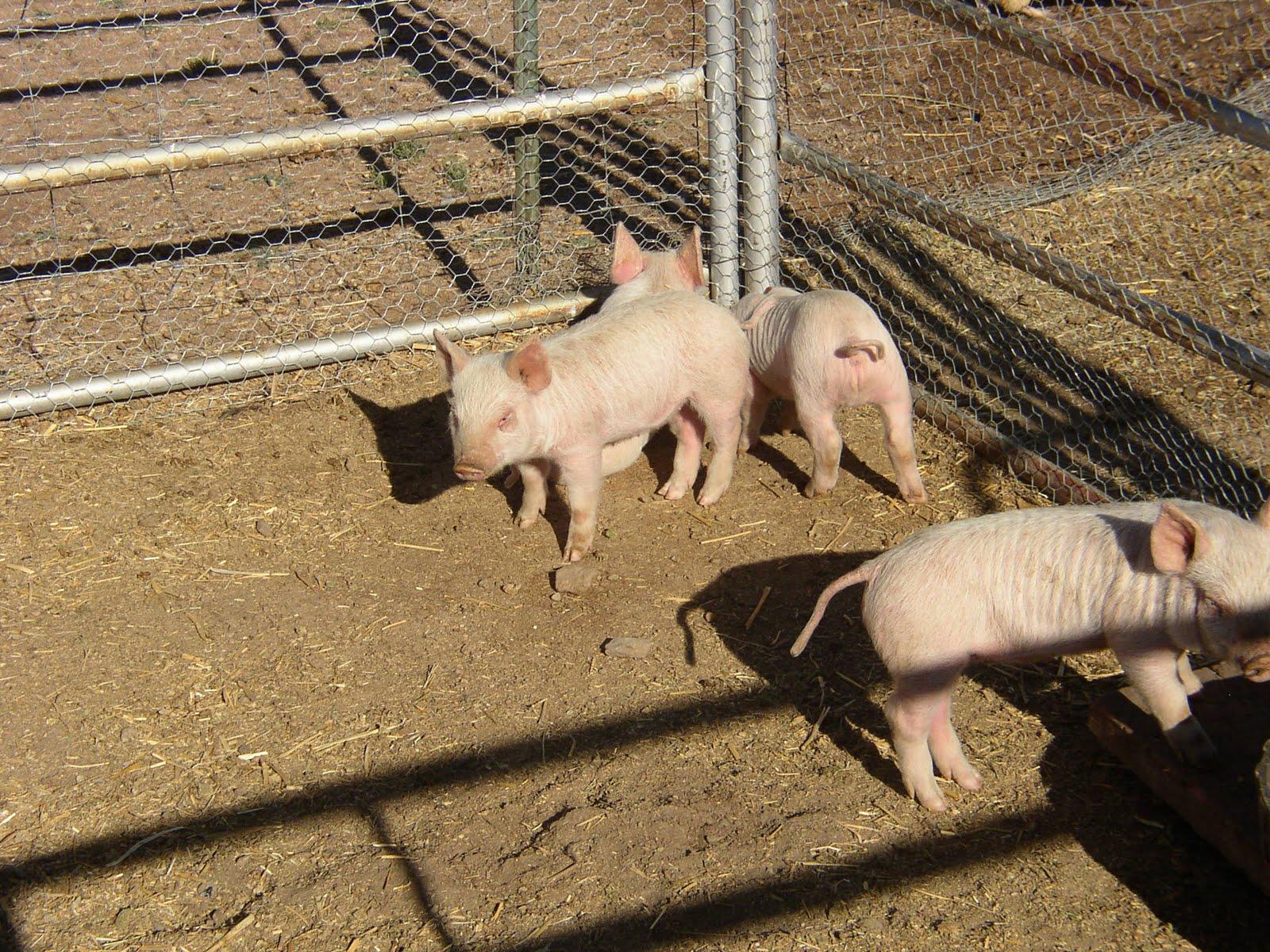 spring pigs hs blog
