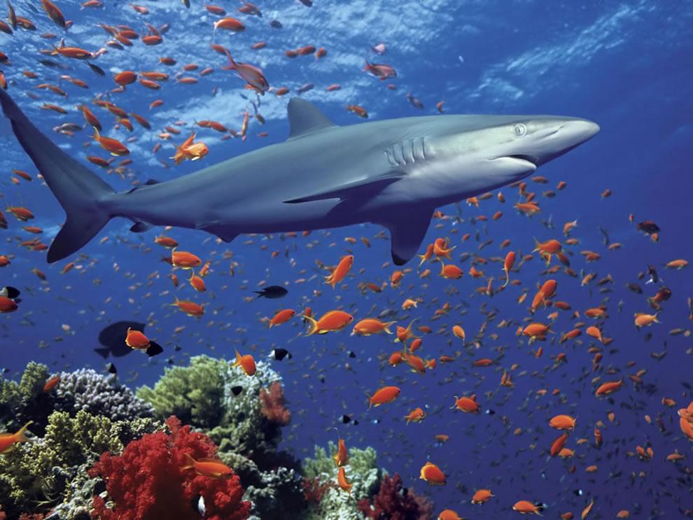 اسماك القرش تحت الماء Shark-the-predator.j