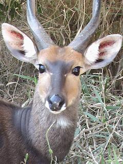 Bushbuck-Kruger-Park
