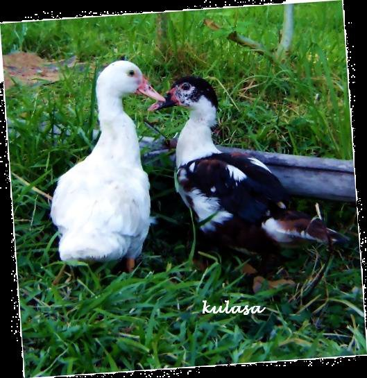 two ducks kissing