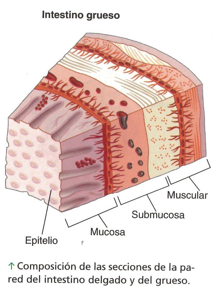 TEMA 6 :Función de nutrición: Art 9 :imagenes del intestino grueso ...