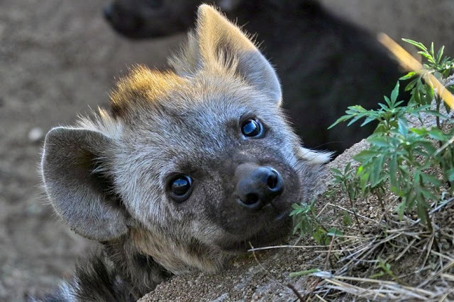 hyena, funny animal pictures, animal pics