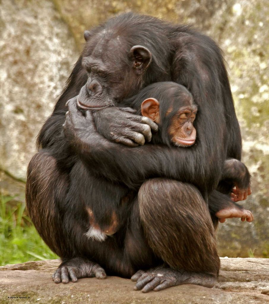 17. Chimpanzee cuddling young-both snoozing by Charlie Summers