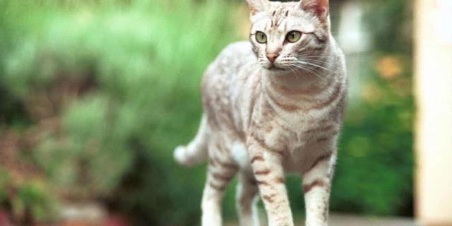 Penyebaran Toksoplasma Lewat Tinja Kucing