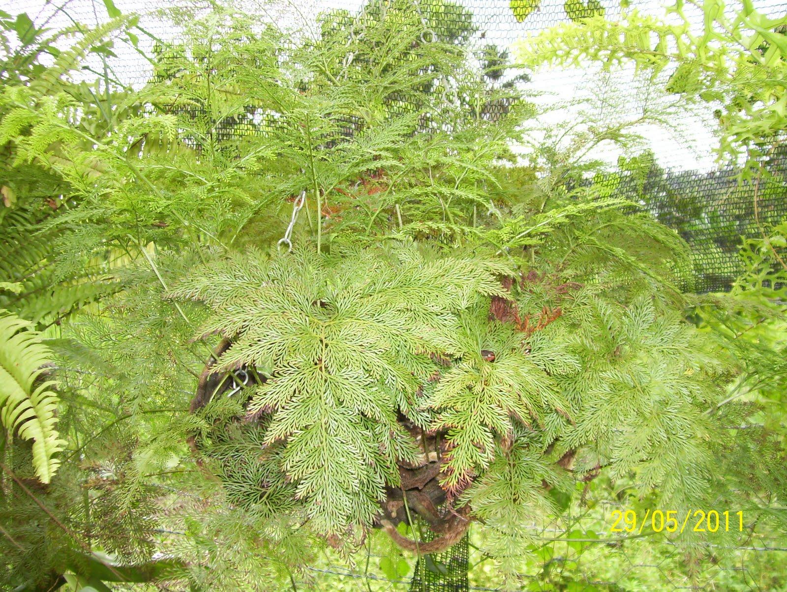 Vivero los chaguaramos plantas ornamentales for Una planta ornamental