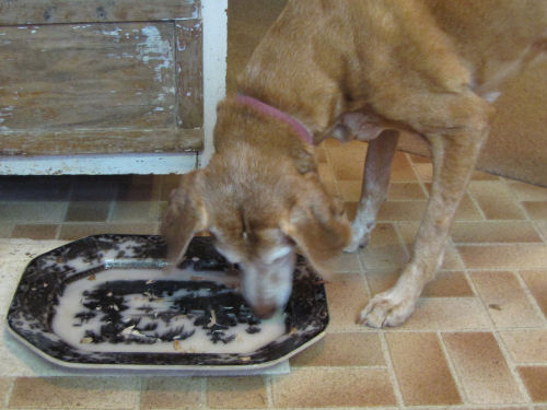 Dog licking platter